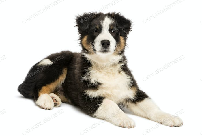Australian Shepherd puppy, 3 months old, lying and looking at camera against white background