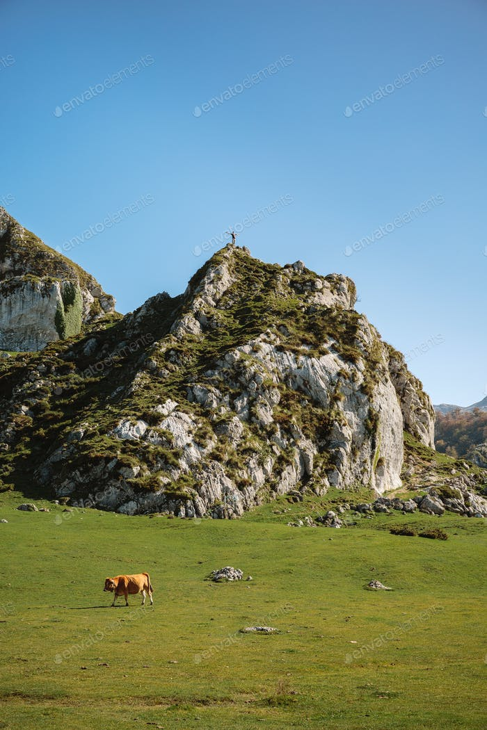 Mountaineer on a rock and cow on the grass