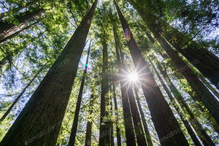 Sonne scheint in einem Wald von Redwood (Sequoia sempervirens), Kalifornien