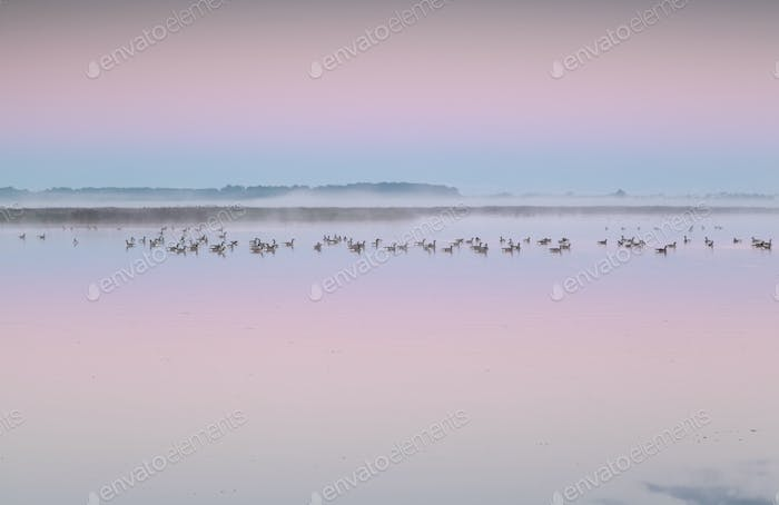 Canadian geese on lake at sunrise