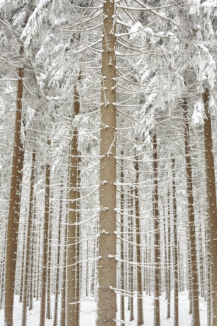 Snow covered tree trunks, natural background.