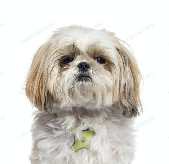 Porträt eines Shi-tzu Hundes, isoliert auf weiß