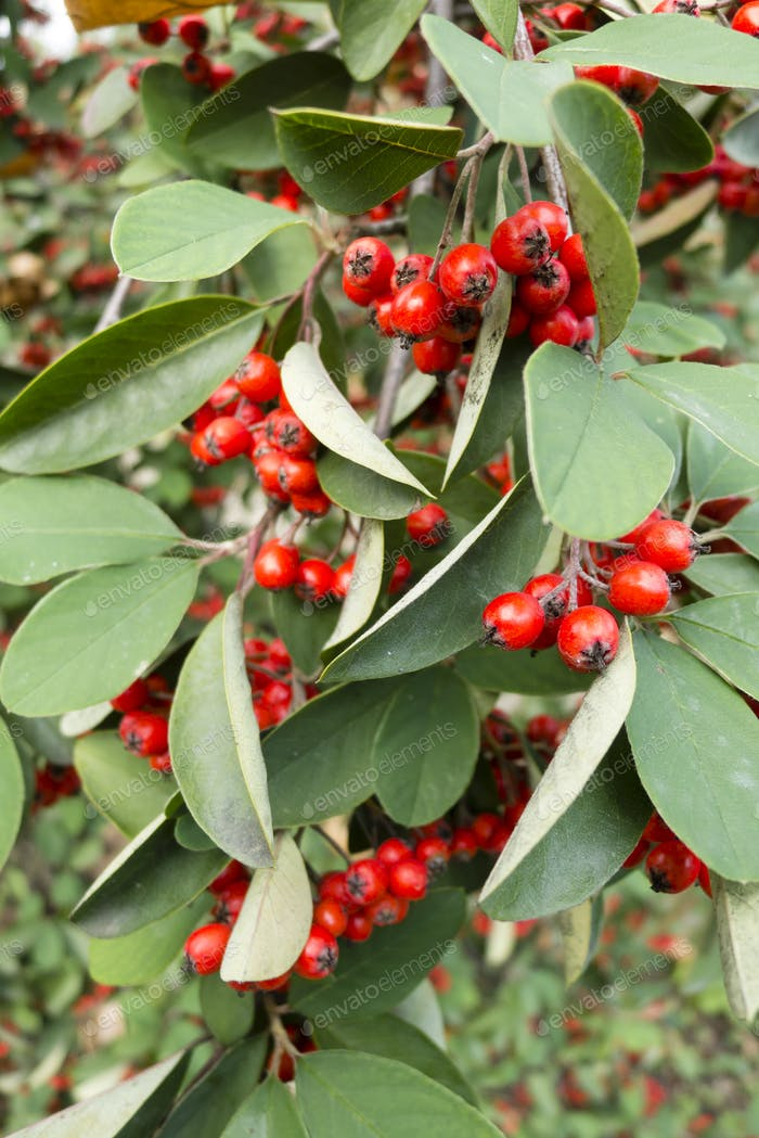 Red berries on ornamental bush