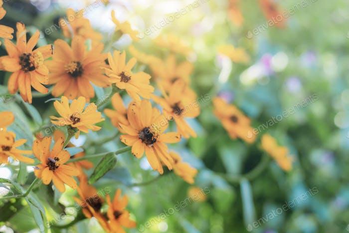 Zinnia flower at sunlight