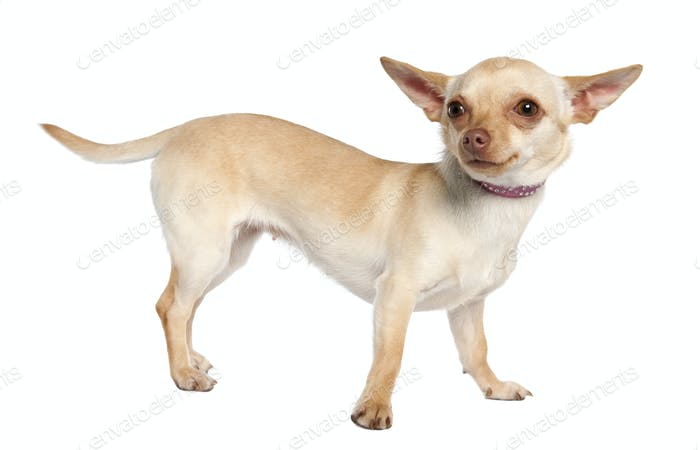chihuahua (11 months old)