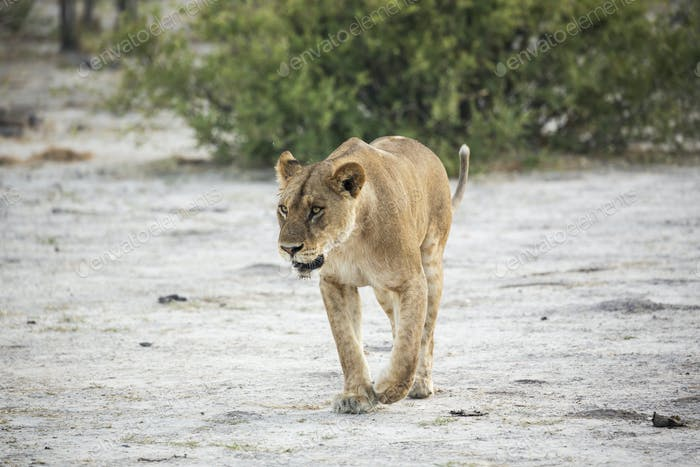An adult female lion.
