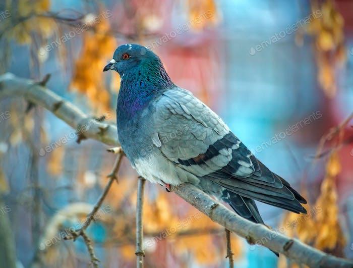 Beautiful grey dove on tree branch