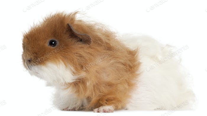Guinea pig, 7 months old, in front of white background