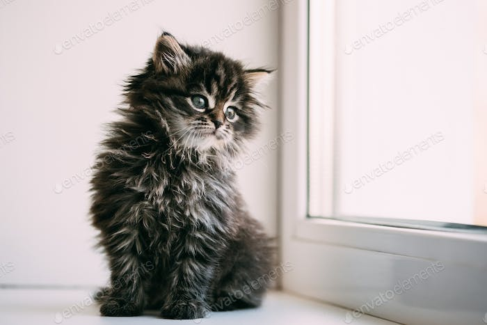 Funny Gray Small Domestic Cat Kitten Sitting On A White Window S