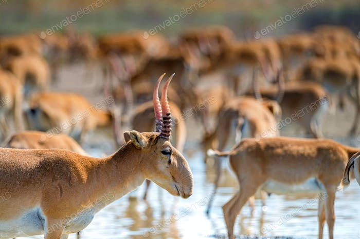 Close uo of saiga at a watering place drinks water