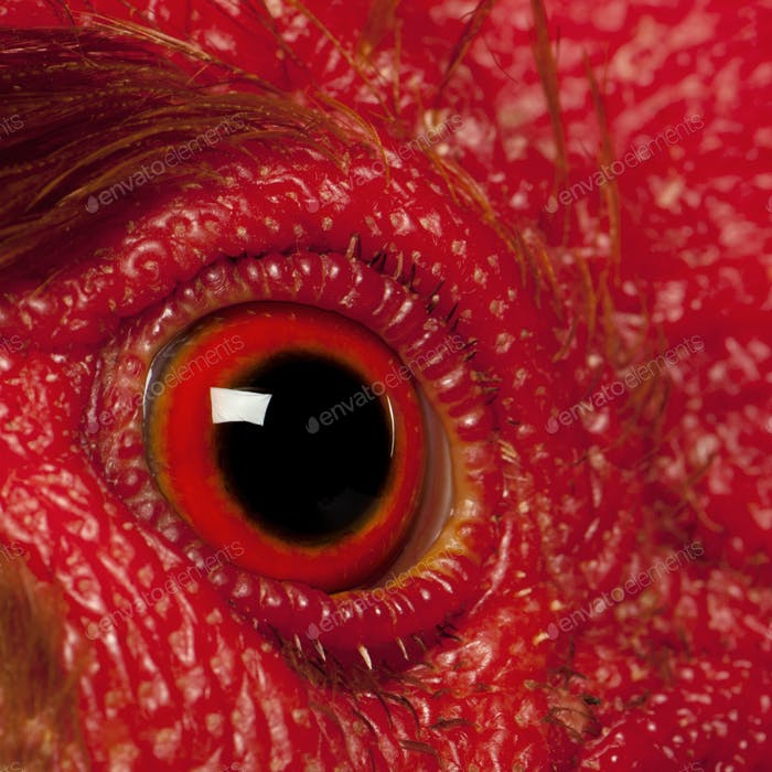 Close up of Rooster Leghorn eye