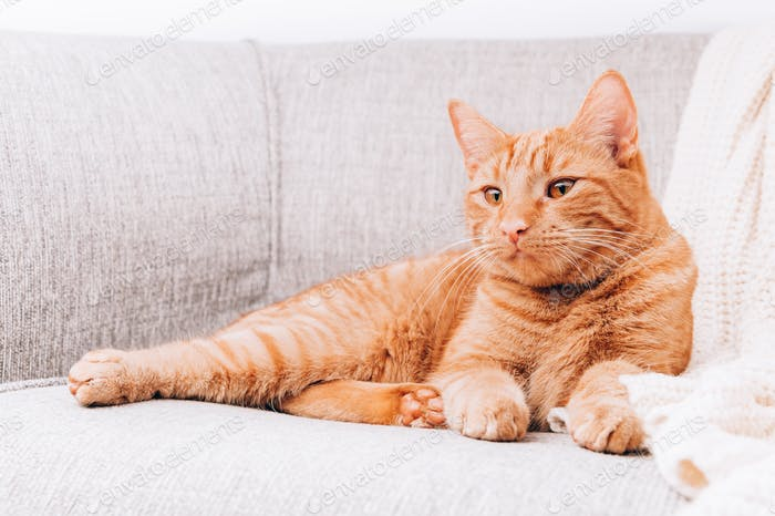 Ginger cat is laying on sofa