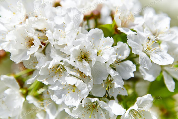 Cherry blossom flowers in Jerte Valley, Caceres. Spring in Spain