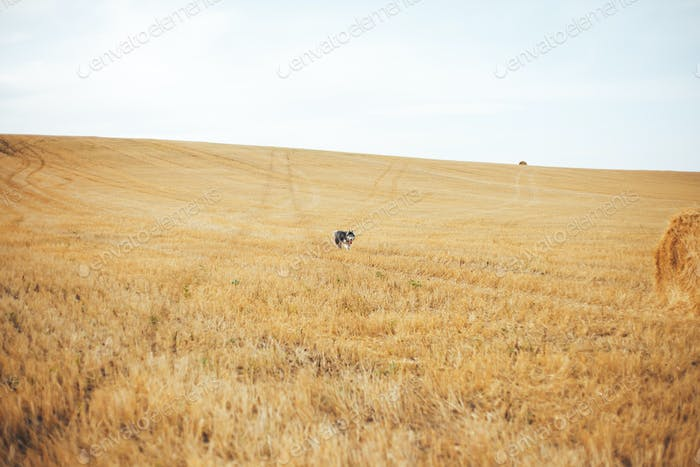 black siberian husky run on golden yellow big meadow field