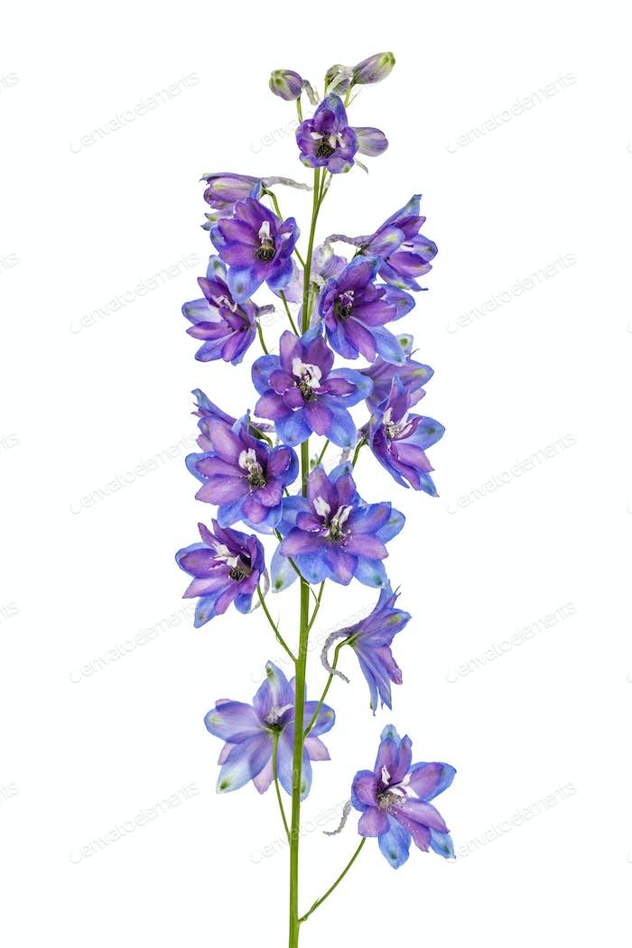 Flor de Delphinium (Larkspur), aislada sobre Fondo blanco