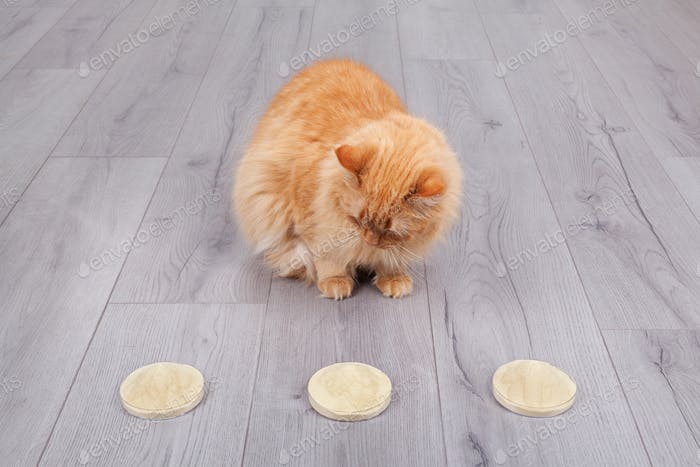 Red cat choosing dry yeast extract from petri cup