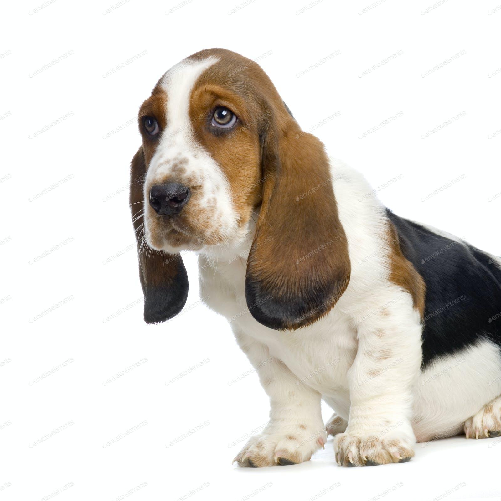 Basset Hound Puppy Hush Puppies Photo By Lifeonwhite On Envato Elements