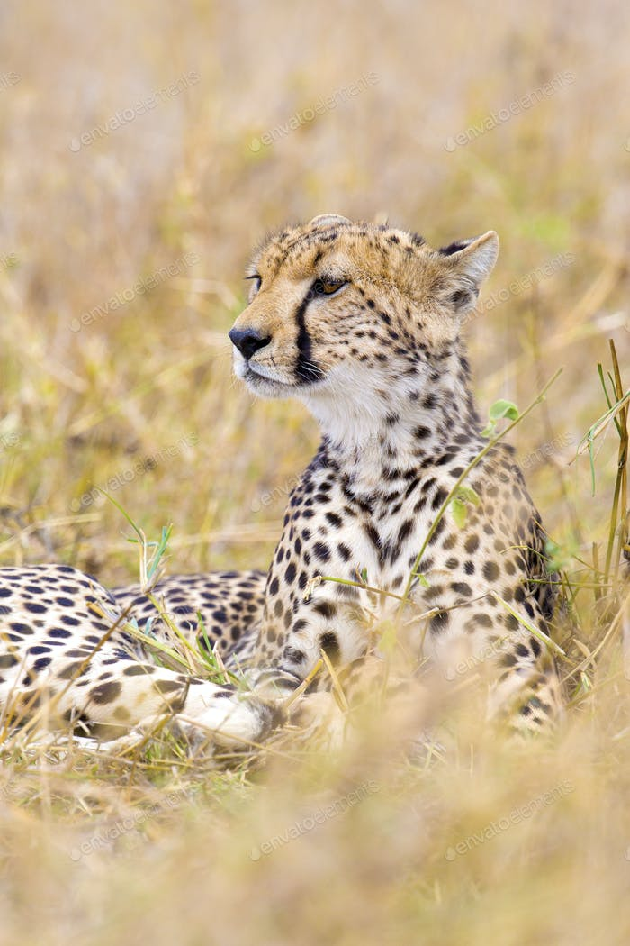 Cheetah looks after enemies in Serengeti