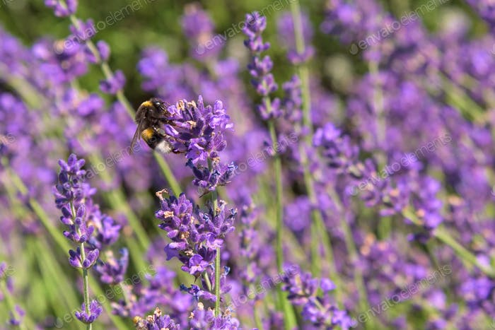 Bumblebee on a lavender flower