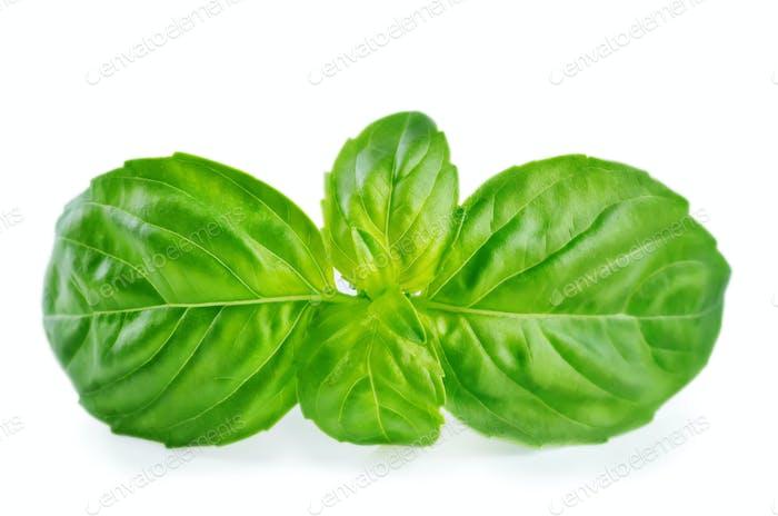 Fresh Basil leaf