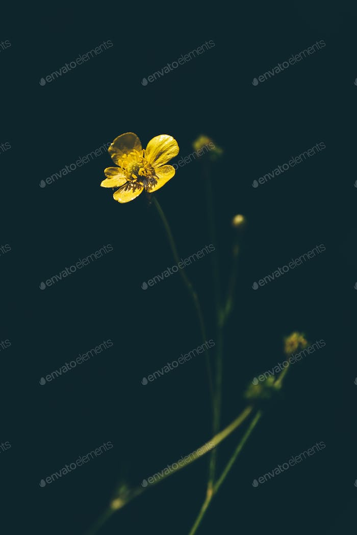 Yellow buttercup on forest glade