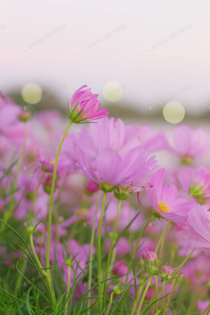 Pink flowers at sky