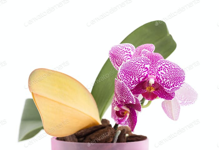 Beautiful blooming home flowers orchids.