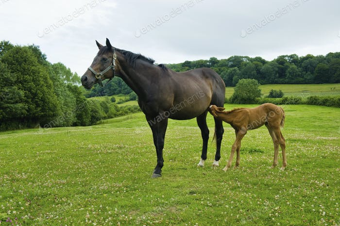 A horse and foal in a field.