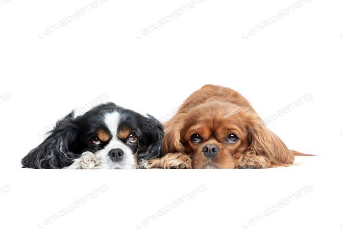 Two cute cavalier spaniels