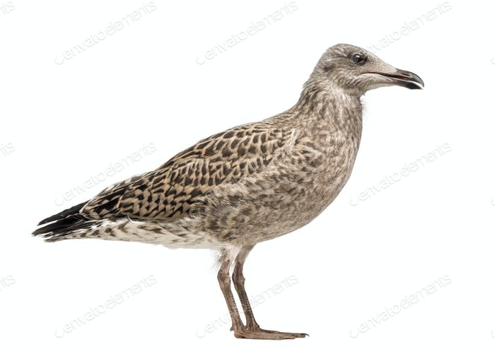 European Herring Gull, Larus argentatus, 3 month old against white background