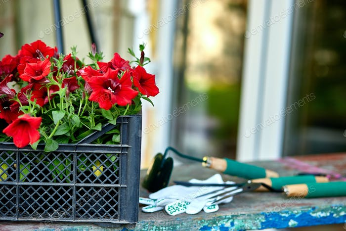 Flowers and gardening tools on wooden background.