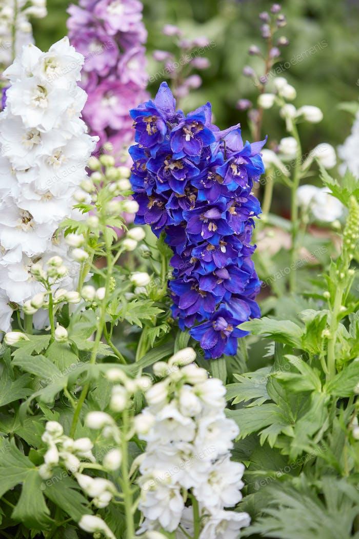 Blue and white larkspur flowers delphinium elatum photo by blue and white larkspur flowers delphinium elatum mightylinksfo