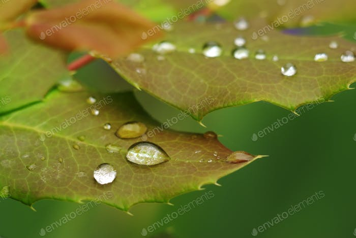 Rose leaf in dew