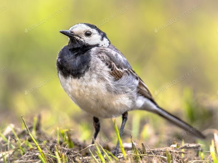 White wagtail in grass field