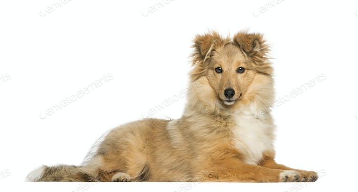 Border Collie, lying and facing, isolated on white