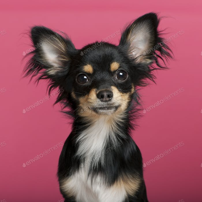 Chihuahua puppy (6 months old)