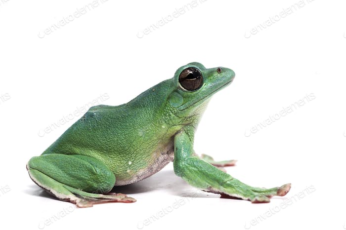 blue Giant flying frog isolated on white background