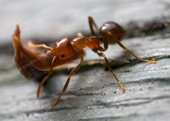 strong ant lifting wood