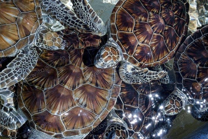 Closeup of Green Sea Turtle Hatchlings at Boatwain's Bay, Cayman Turtle Farm, Grand Cayman Island,