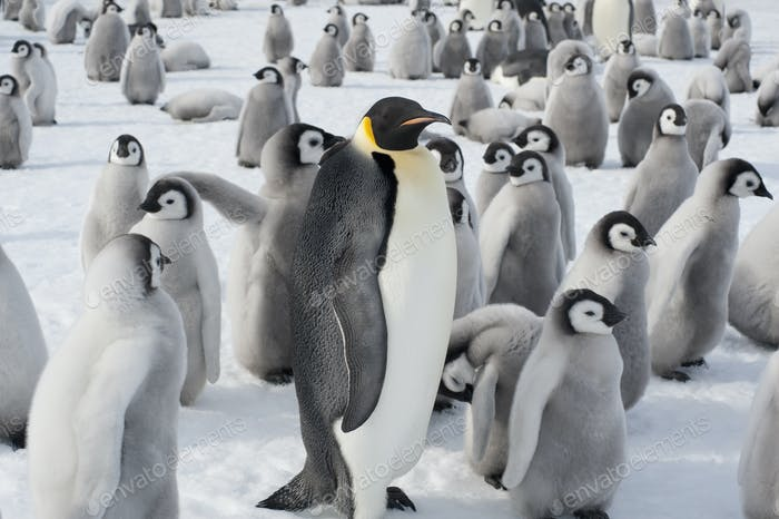 A breeding colony of Emperor penguins, one adult animal and a large group of penguin chicks.