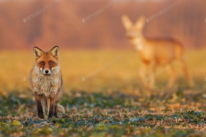 Male fox standing on the field and watching, roe deer walking in the background