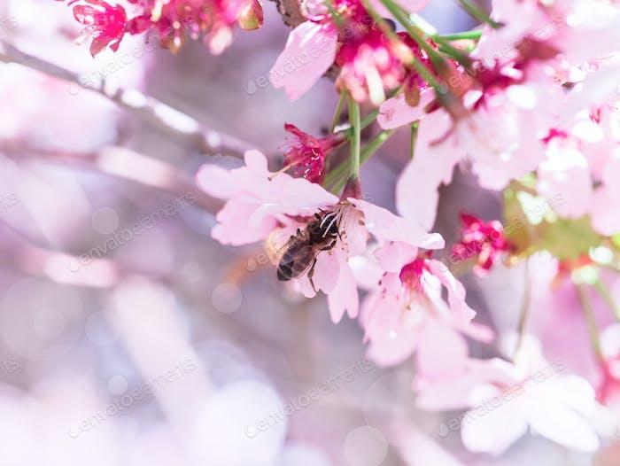 Insektenbiene flog zum Zweig der Kirschblüten, sammelte Nektar. Ein sonniger Tag im Frühling.