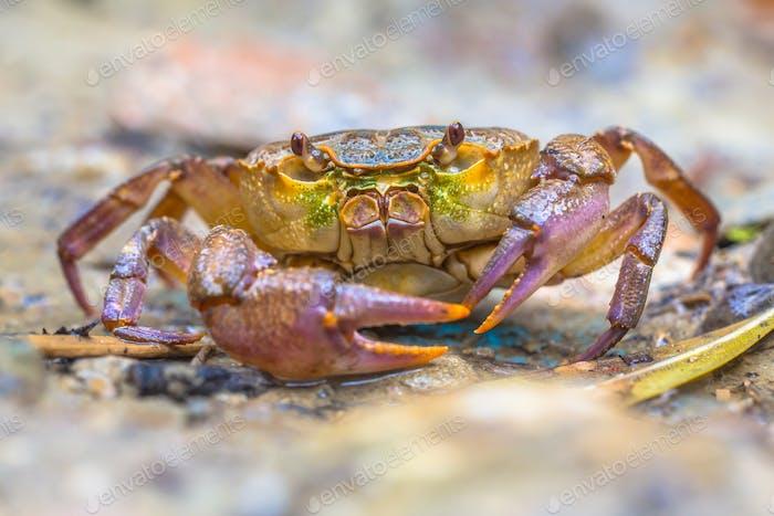European freshwater crab