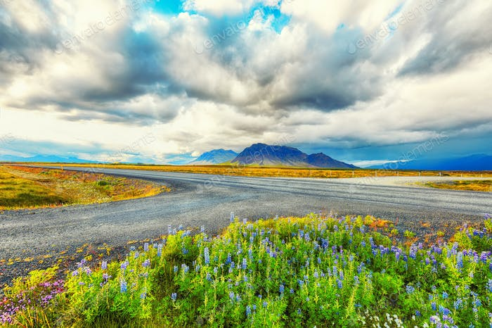 Gorgeous Icelandic stormy landscape with lupine on foreground