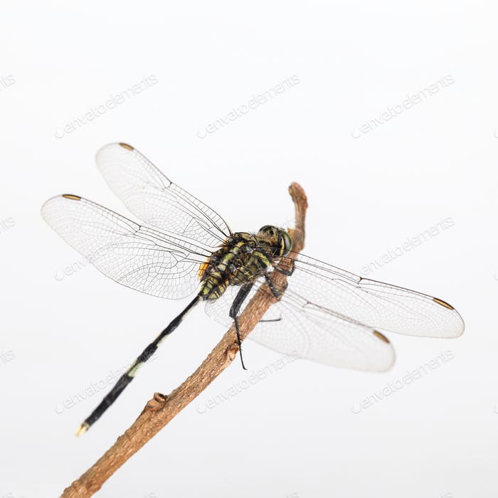 dragonfly resting in the branch