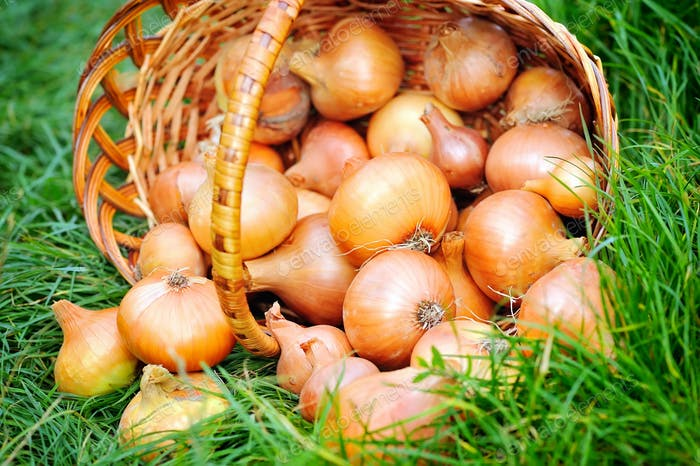 Fresh onions in basket on grass