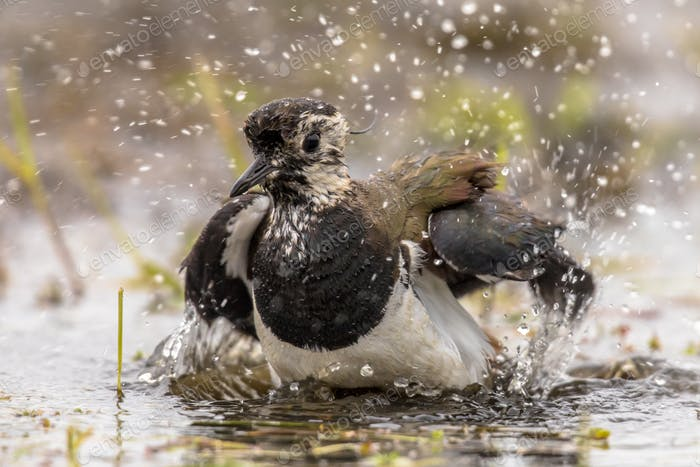 Northern Lapwing bathing in shallow water
