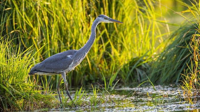 Grey Heron Hunting in Reeds