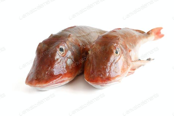two tub gurnard fish - gallinelle di mare