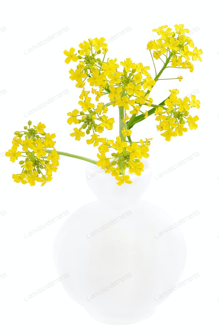 Barbarea vulgaris flowers in the vase